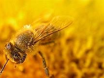 """Včely si zaslouží péči a zájem včelaře. Nejen za 'výrobu medu', kterou provádějí, ale též za zahradnickou práci při opylování stromů a dalších rostlin. S krmivy APIVTAL® sirup a APIVITAL® těsto je snadné včelám dát potřebnou péči, protože krmení s prosakovacími kbelíky s """"invertem"""" i vakuově balenými koláči těsta je velmi snadné a včelaři tak mohou mnohem více času věnovat vlastnímu chovu včel a hlavně neustálému rozvíjení svého včelaření..."""
