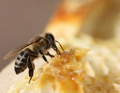 Nejdůležitějším včelím produktem není med ani mateří kašička, ale OPYLOVÁNÍ rostlin. Hmyzosnubné rostliny se bez opylení hmyzem neobejdou. Aby mohly mít plody, tedy semena, dál předávat život a množit se, potřebují opylovače. Včela tak díky opylování přináší vysokou hodnotu člověku a celé přírodě. Součástí správné péče o včelstvo je i zajištění jeho nutričních potřeb. Zde se výborně uplatní kvalitní tekutý CUKR pro včely, na bázi fruktózy a glukózy.